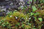 Twinflower (Linnaea borealis)